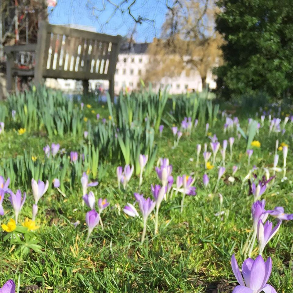 A swarm of budding purple crocuses on a lawn, taken from ground level by Amy, Head of Welfare at Studio Cambridge.