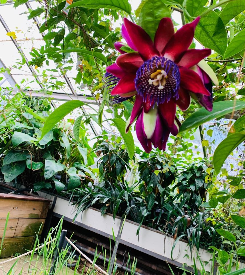 A large magenta flower with purple stamen hanging over bed of greenery in Cambridge University Botanic Gardens, which Sir George students at Studio Cambridge English Language school visited as an enrichment activity.